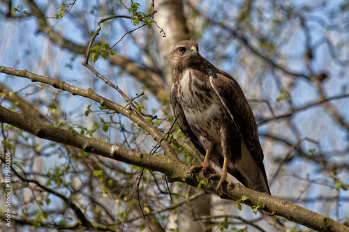 Buzzard Canvas Print