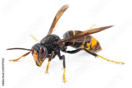 Fotografía Asian hornet, also known as the yellow-legged hornet (Vespa velutina) on white