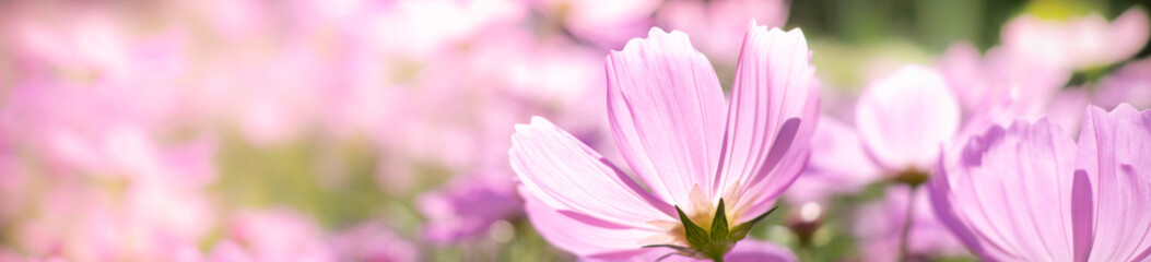 Closeup nature view of beautiful flower cosmos on blurred background in garden with copy space for text using as summer background natural flower plants landscape, ecology, fresh cover page concept.