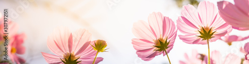 Closeup nature view of beautiful flower cosmos on blurred background in garden with copy space for text using as summer background natural flower plants landscape, ecology, fresh cover page concept. - 307972151