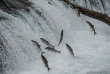 Annual Sockeye Salmon Run At Brooks Falls In Katmai National Park, Alaska
