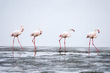 Group Of Pink Flamingos At Wal...
