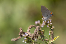 A Gray Hairstreak Is Searching For Nectar From Tiny Purple Blooms At Yates Mill County Park In Raleigh, North Carolina.