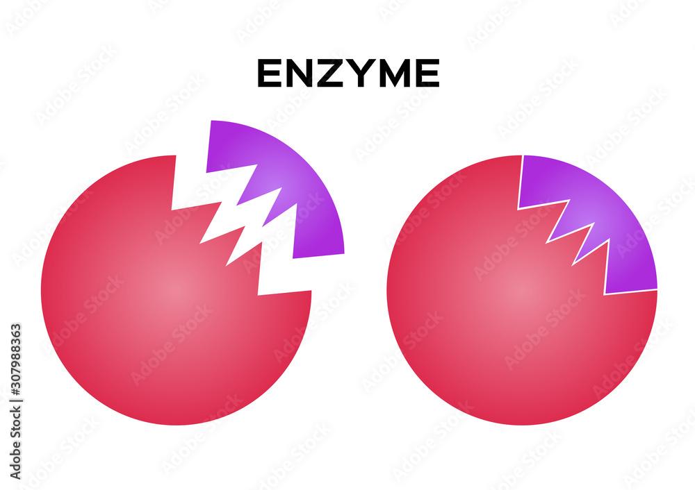 Fototapeta digestive enzyme vector on white background