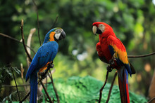 Two Yellow And Red Blue Macaws...