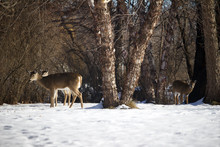 White-tail Deer Forage Among Birch Trees In A Ravine Woodland In Winter Snow