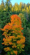 Outstanding Color Changing Leaves On A Tree During Fall Or Autumn Surrounded By Many Green Trees.