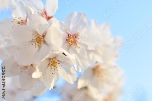 Fototapety, obrazy: Cherry blossom, spring has come
