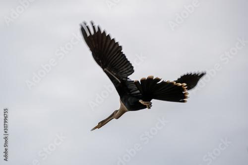 Obraz na plátně  Ein freigestelltes Weibchen des Amerikanischen Schlangenhalsvogel fliegend vor b