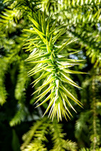 Branch Of Araucaria Araucana, ...