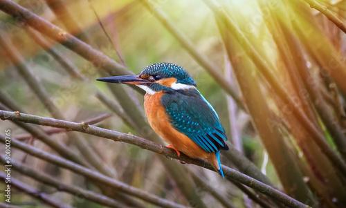 Fotografiet Beautiful nature scene with Common kingfisher Alcedo atthis
