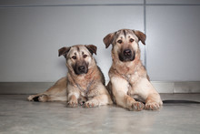 Two Large Dog Anatolian Shepherd Breed Sitting On A Background Of Gray Wall