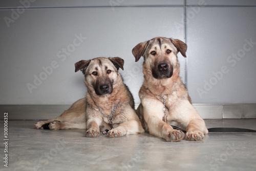 Fototapeta two large dog Anatolian shepherd breed sitting on a background of gray wall obraz
