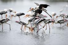 A Flock Of Painted Stork (Myct...