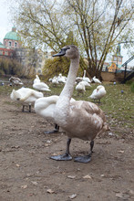 Swans And Geese Close-up On T...