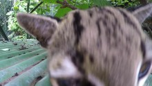 Oncilla Wild Cat In Captivity ...
