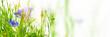blühende kornblumen makroaufnahme