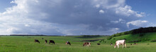 Cows On A Green Meadow In The ...