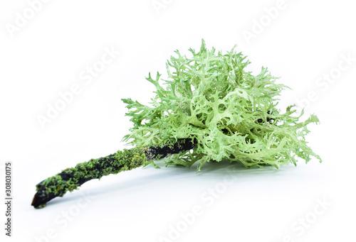 Obraz na płótnie Lichen on a dry twig on a white background