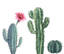 Beautiful Three Watercolor Cactus Hand Drawn Illustrations Set. White Background. Isolated Objects.