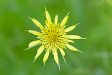 Tragopogon Dubius Is Also Known As Yellow Salsify And Yellow Goat's Beard. Tragopogon Dubius Flower Known As Western Salsify, Western Goat's-beard, Wild Oysterplant, Goatsbeard, Common Salsify