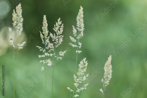 Holcus mollis is a plant species of the Poaceae family. Canvas Print