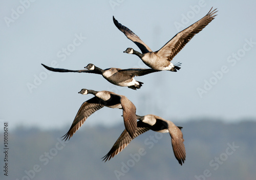 Fototapeta Canada geese migrating in the Fall of the year