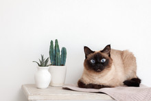 Siamese Cat Lies On A Table Wi...