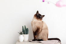 Siamese Cat Plays On A Table With Cacti On A White Background