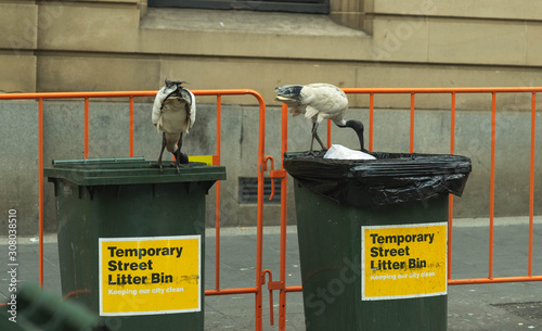 Valokuva white ibis bird eating food from rubbish on floor around bins in Sydney city, Au