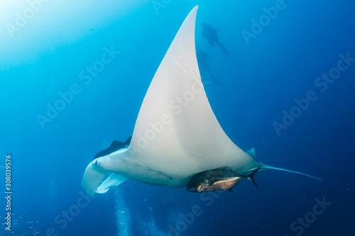 Fotografia Oceanic Manta Ray in a blue, tropical ocean (Similan Islands)