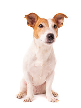 Dog Jack Russell Terrier Looks...