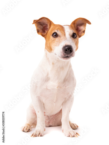 Valokuvatapetti dog jack russell terrier looks up on a white background
