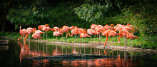 Flamingo Standing In Water With Reflection