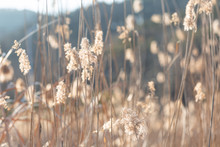 Outdoor Autumn Winter Season Reed,Phragmites Communis (Cav.) Trin. Ex Steud