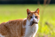 Feral Cat Holding Rodent Prey ...