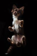 Chihuahua Puppy On Black Backg...