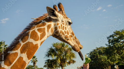 Photo  Giraffe with long tongue out. Funny concept.