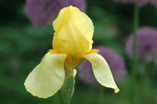 Close Up Of Yellow Bearded Iris With Purple Flowers In Background