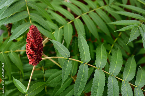 Fotografía Red drupe of a Staghorn Sumac with green compound leaves