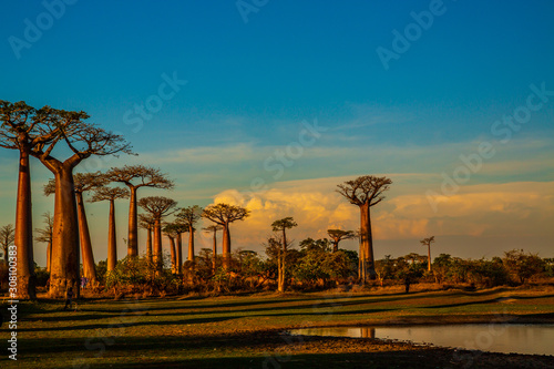Beautiful Baobab trees at sunset at the avenue of the baobabs in Madagascar Fotobehang