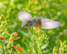 Broadtail Hummingbird Feeding At A Flower