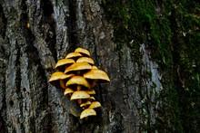 Pholiota Adiposa Mushrooms On ...