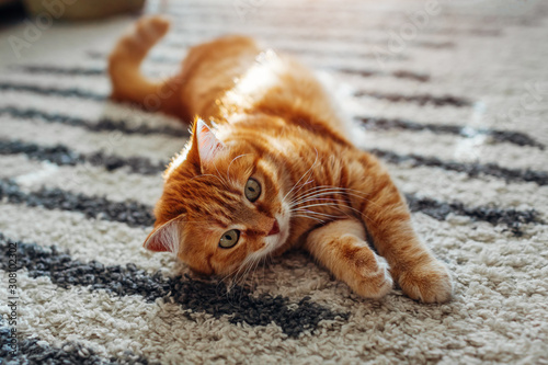 Stampa su Tela Ginger cat lying on floor carpet at home. Pet playing with rug