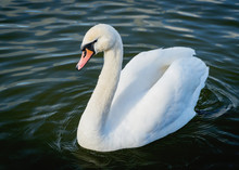 A White Swan Swimming In A Loch