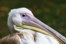 Pelican In London