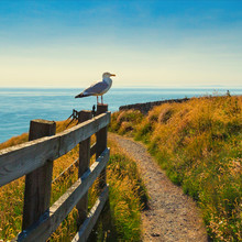 Seagull Perched On The Fence On The Coastal Path At Port Patrick Scotland
