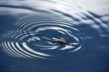 Closeup Of A Water Strider, Ge...