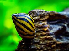 Spotted Nerite Snail (Neritina...