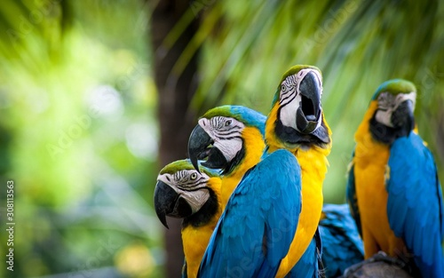 Papel de parede blue and gold macaw parrot